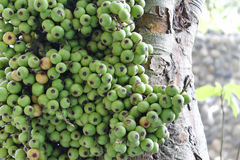 Cluster of figs in the tree (Ficus racemosa) Stock Photo