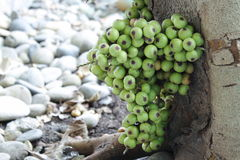 Cluster of figs in the tree (Ficus racemosa) Stock Images