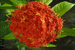 Cluster flowers Ixora Royalty Free Stock Images