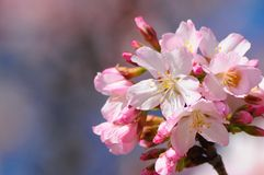 Cluster of flowing pink blossums Stock Images