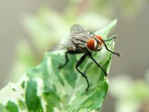 Fly. Cluster fly, also called attic fly, is similar to a house fly but larger in size and slower in movement Royalty Free Stock Photography