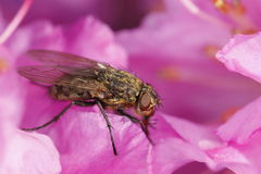 Cluster-fly on pink flower Stock Image