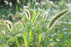 Cluster of foxtail grass Royalty Free Stock Images