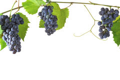 Cluster fresh grape Stock Photography