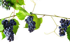 Cluster fresh grape Stock Photos