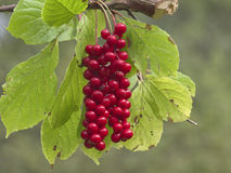 Cluster of fruits of a magnolia vine Schisandra chinensis Stock Photo