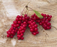 Cluster of fruits of a magnolia vine Schisandra chinensis Stock Images