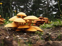 Cluster of Giant Flame Cap Mushrooms Stock Photography