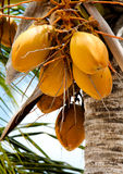 Cluster of golden coconuts on a coconut tree Stock Image