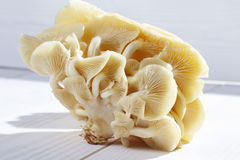 Cluster of golden oyster mushroom on white wooden background royalty free stock photos