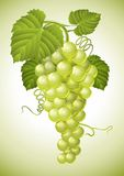 Cluster of grape with green leaves. Illustration vector illustration