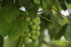 Cluster of a grapes Royalty Free Stock Photos