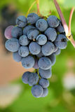 Cluster of grapes Royalty Free Stock Images