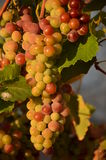 Cluster of grapes Stock Photos