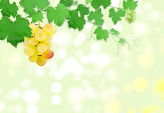 Cluster of grapes on a green grapevine Royalty Free Stock Photography