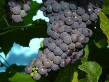 Cluster of grapes. Grown in Tverskaya region, Russia stock photos