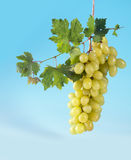 Cluster of grapes and vine leaves Stock Photography