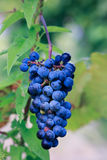 Cluster of Grapes on Vine Stock Photos