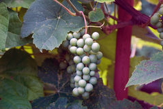 Cluster of grapes (Vitis vinifera) Royalty Free Stock Photo