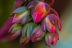 A cluster of Graptoveria succulent flowers. A Graptoveria species hybrid succulent displaying a bright cluster of red unopened flowers Stock Photo