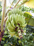 Cluster of green bananas in rain drops Royalty Free Stock Photo
