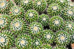 A cluster of green cactuses from above variety royalty free stock photo