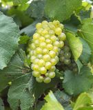 Cluster of green grape vine. royalty free stock photo
