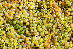 Cluster of green grapes. Closeup of a large cluster of green grapes (background image stock photos