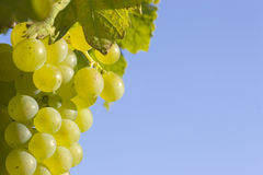 Cluster of green grapes. Close-up of a cluster of green grapes in the sun with blue sky in the background Stock Image
