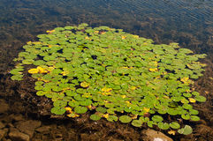 Cluster of green lily pads Royalty Free Stock Photos