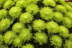 Cluster of green spider mums Royalty Free Stock Photos