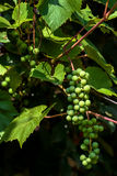 Cluster of green unripe grapes on a grapes bush at the beginning Royalty Free Stock Photography