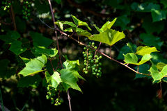 Cluster of green unripe grapes on a grapes bush at the beginning Stock Image