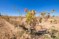 Green wine grapes in withered vineyard Royalty Free Stock Photo