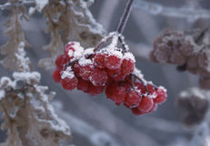 The cluster of a guelder-rose. Covered by hoarfrost Royalty Free Stock Photos