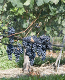 Cluster of hanging blue grapes Stock Photography
