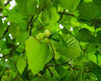 A cluster of hazelnuts among the leaves on a tree royalty free stock photos
