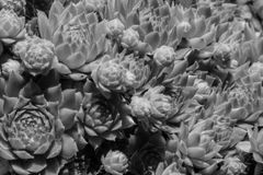 Cluster For Hens and chicks in Grayscale. A close up cluster of hens and chicks in a black and white image Royalty Free Stock Photo