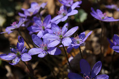 Cluster of hepatica spring flower. Spring flower macro.Cluster of round-lobed hepatica Royalty Free Stock Photography