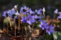 Cluster of hepatica spring flower. Spring flower macro.Cluster of round-lobed hepatica Royalty Free Stock Image
