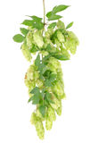 Cluster of hops with leafs  Stock Photos