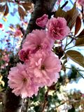 Pink Double Sakura Cherry Blossoms on Branch Royalty Free Stock Image