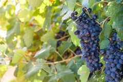 Cluster of juicy grapes on a wine backlit with sunlight. Selective focus. Copy space. stock photos