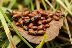 Cluster of lady bugs on a brown leaf Royalty Free Stock Images