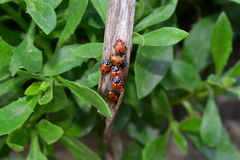Cluster of Ladybugs sitting on dried leaf on plant in garden Stock Image
