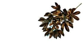 Cluster of Lagerstroemia floribunda Jack. Dry Lagerstroemia floribunda jack ready for decorate Royalty Free Stock Photos