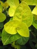 cluster leafen Fotografering för Bildbyråer