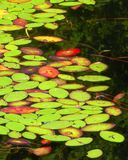 A cluster of lily pads float atop the waters on this pond. Numerous green lily pads as well as some orange and red leaves float on this pond in British Columbia royalty free stock images