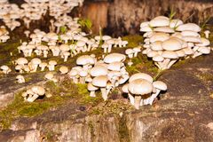 Group of poisonous mushrooms on the old stump. Cluster of many yellow wood-decay mushrooms growing on a moss of tree trunk in forest, poisonous fungus Sulphur Stock Images
