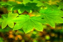 Close up green maple leaves with fall color background. Cluster of maple leaves up close with bokeh background of blurred fall colors.Useful as background for royalty free stock photo